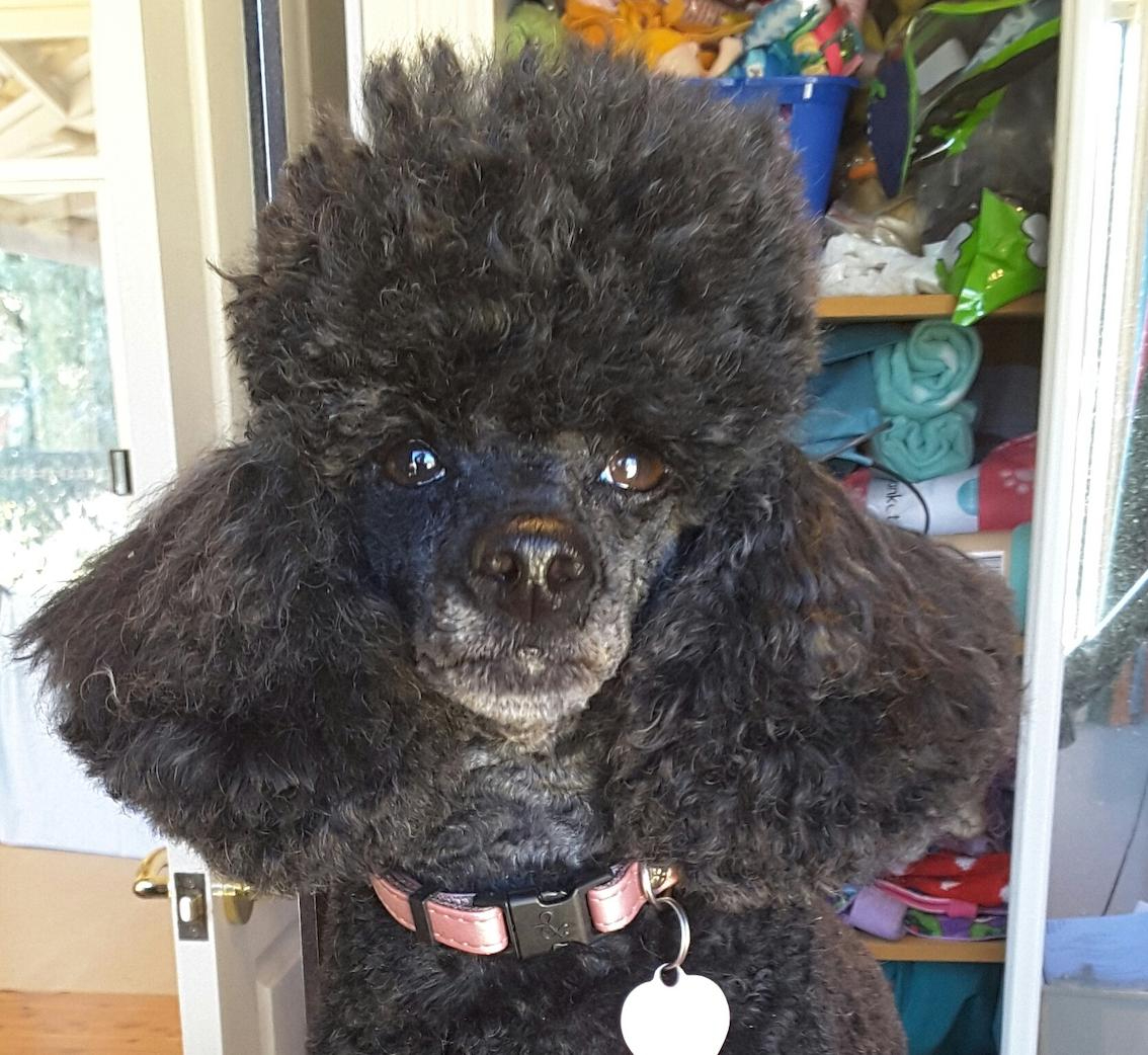 Sari the Toy Poodle - McDowell's Herbal Treatments