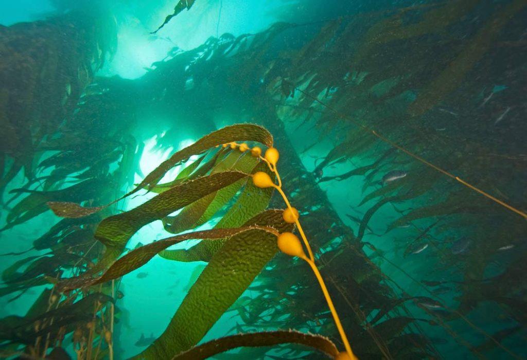 Kelp A Natural Super Food Mcdowell S Herbal Treatments