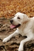 bigstock-Yellow-Labradors-In-The-Park-I-30034808-70x100