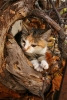 Autumn-Kitten-67x100