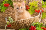 British-Kitten-Sitting-In-A-Basket-150x100