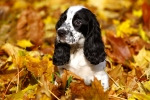 Black-And-White-Puppy-Of-Russia-150x100