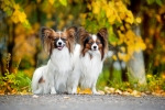 two-Papillon-dogs-in-autumn-150x100